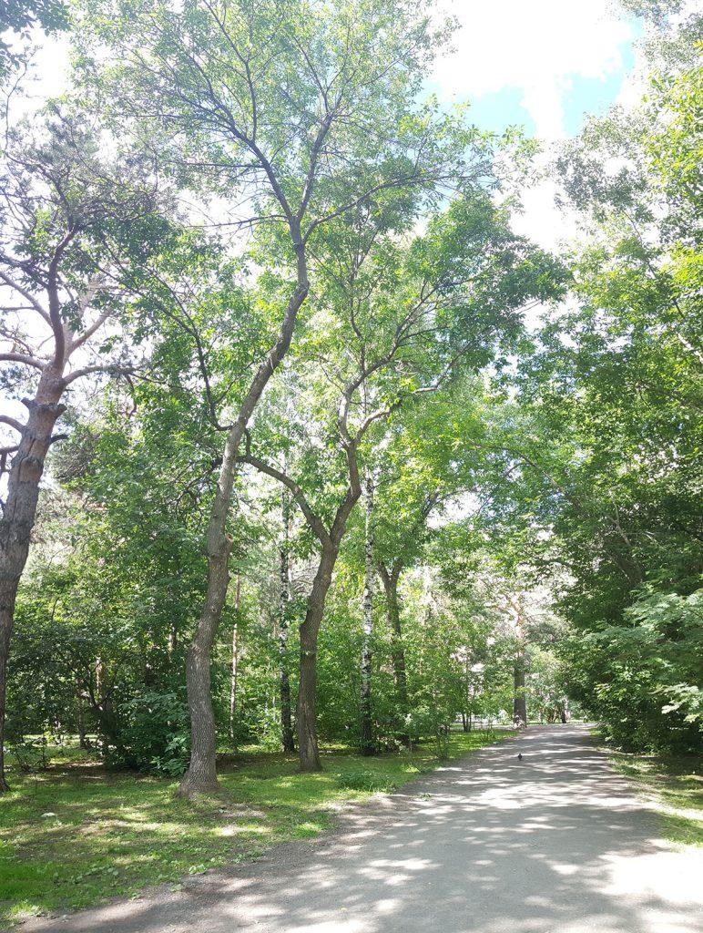 Эти четыре дерева намечены под снос, поскольку проектировщики решили сместить дорожку на несколько метров влево.
