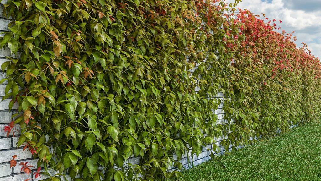 Девичий виноград позволяет за несколько лет создать впечатляющее озеленение.